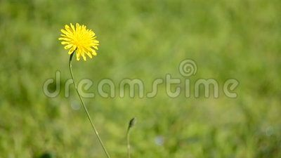(C) Celia Ascenso - Yellow Wild Flower Swinging In The Wind.