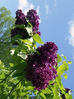 Rochester, NY lilac festival, I love the smell of lilacs.