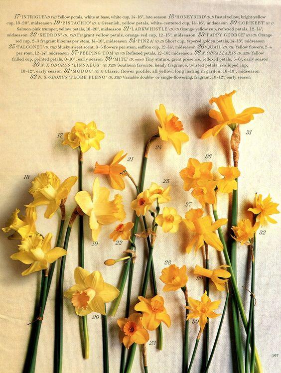 daffodil varieties martha stewart