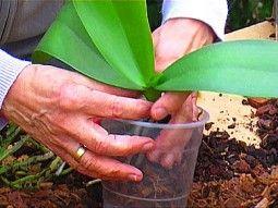 Orchideen Richtig Pflegen - Teil 3: Das Umtopfen | Gartenfernsehen ... Tipps Umtopfen Zimmerpflanzen
