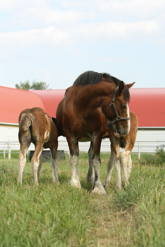 Willow Way Beth raising her stud foal and an orphaned filly.: