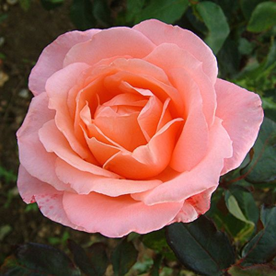 Lovely Lady Rose: Hybrid Teas; 1986, rare, bush, continuous flowering, very scented, tolerate small amount of shade, quite thorny, attracts bees. Can be grown in a pot. 2ft H x 2ft W.