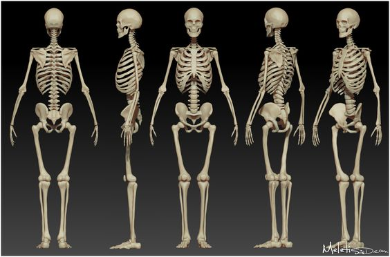 ... , working from observation of the skeleton image, superimpose a drawing of a skeleton onto each figure, paying attention to accuracy of proportions and foreshortening.