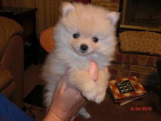 Teacup pomeranian, Teacup pomeranian puppy and Babies on
