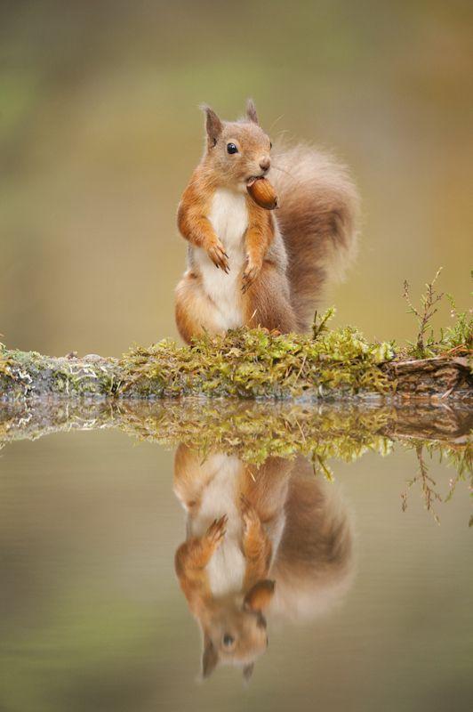 British Wildlife Photography Awards Showcase Island's Amazing Biodiversity; Red Squirrel by Mark Hamblin
