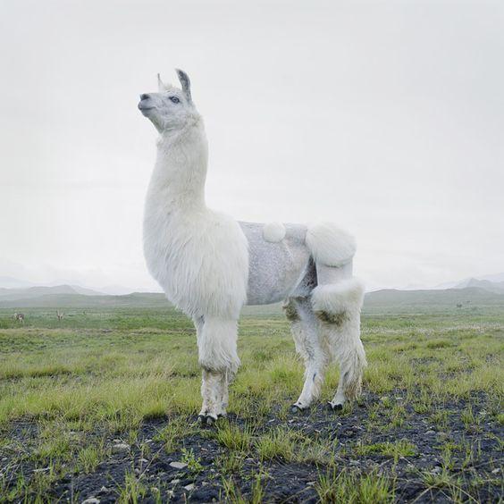 草原にたたずむかわいいアルパカの壁紙