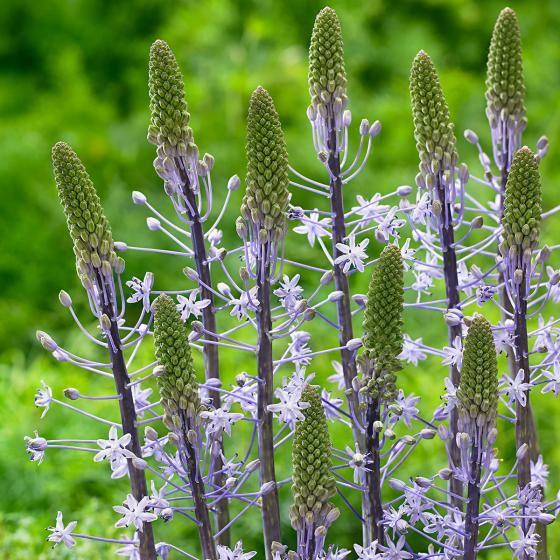 Riesen Blaustern Blue Arrow Von Gartner Potschke Bluhende Pflanzen Pflanzen Zierpflanzen
