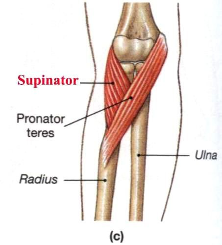 Old Fashioned Supinator Muscle Photo - Anatomy And Physiology ...