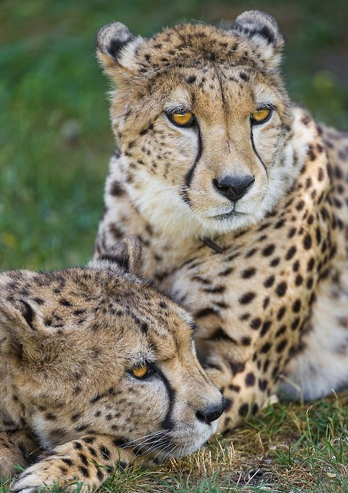 ~~Cheetah brothers together by Tambako the Jaguar~~