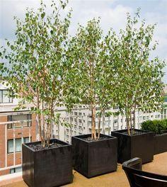 La Betula Pendula en macetas de cementos y pintadas de negro, pueden alzar una terraza.