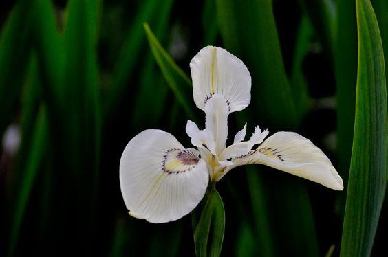 """Iris pseudacorus """"Foxtrot Full Moon"""""""