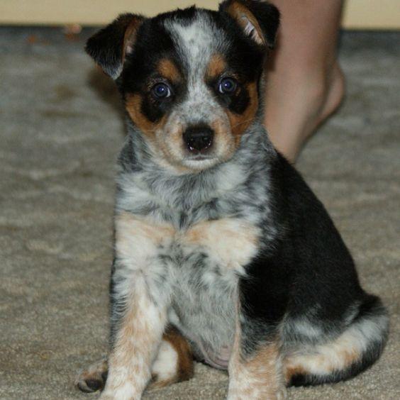 Blue Heeler Mix Puppy Australian Shepard - B...