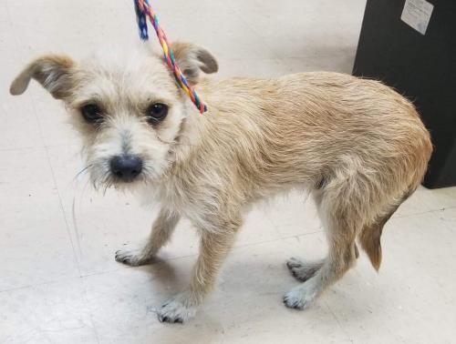 Dogs For Adoption Petfinder Dog Adoption Pets York Terrier