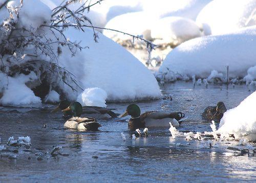 Winter Mallards by Hank Moorlag | Flickr - Photo Sharing!