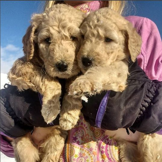 Lou A Female Akc Poodle Puppy For Sale In Middleton Id Poodle