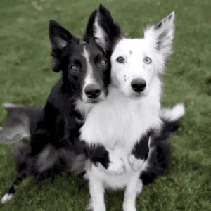 Tristan et Iseult, les grandes amours chiennes