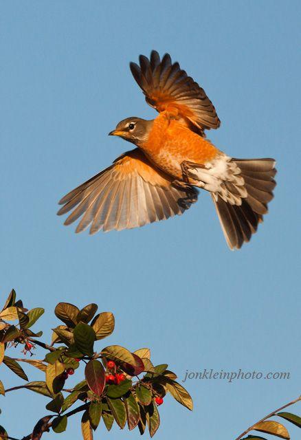 american robin bird flying - photo #35