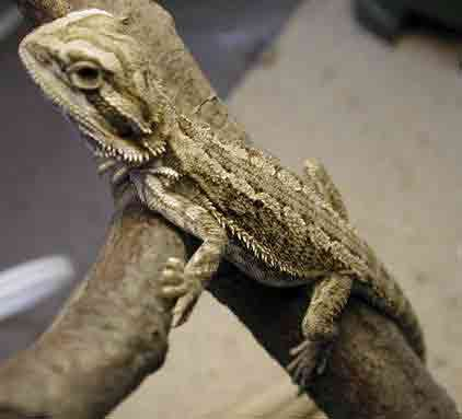 Baby bearded dragon lizard