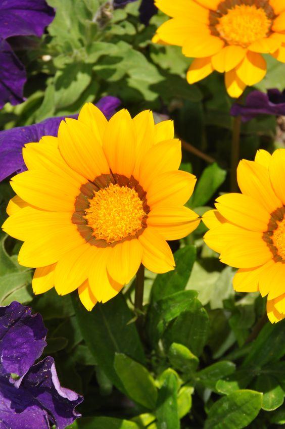 Originarias del #africatropical las #gazanias florecen durante #primavera y #verano son ideales para #jardines #costeros.