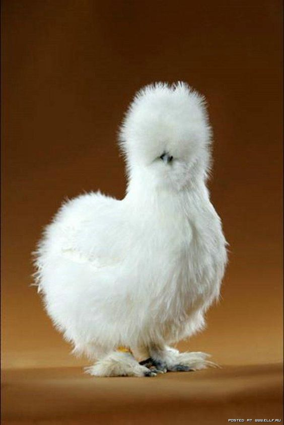 Bird - Silkie Bantam Chicken - The Silkie is a breed of chicken named for its atypically fluffy plumage, which is said to feel like silk.