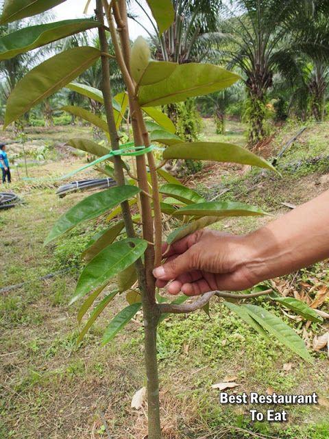 Kebun Durian Musang King Di Malang