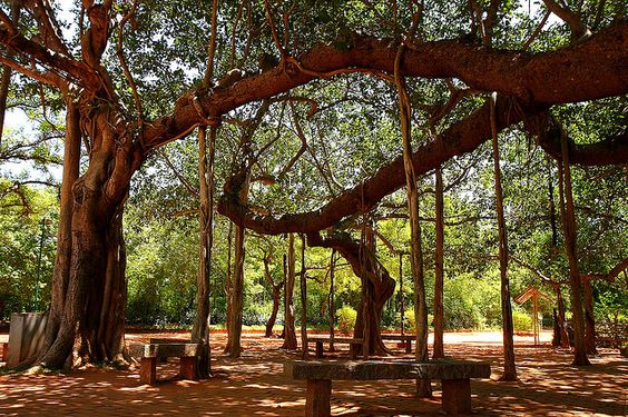 banyan tree - Auroville by Zolivier, via Flickr