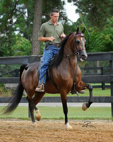 Merry Spitfire: Outstanding Arabians, Trotting Saddleseat, Horse, Merry Spitfire