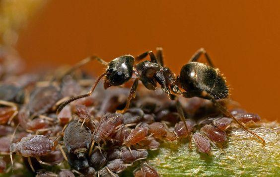 zwarte mier
