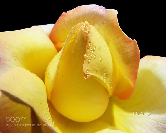 Rose heart by Bitamejil. Please Like http://fb.me/go4photos and Follow @go4fotos Thank You. :-)