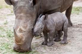Rhino Mother and her baby