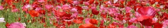 Virginia Poppies (Banner)