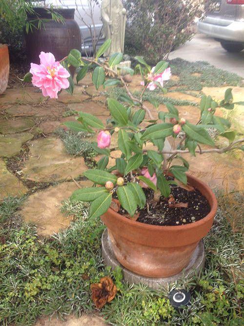 container camellia nuccios