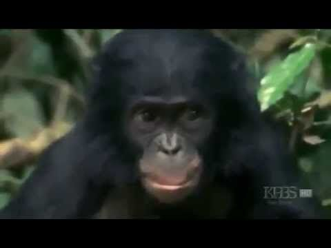 The Bonobo Ape Great Human Apes Mating, Talking, Kissing ...
