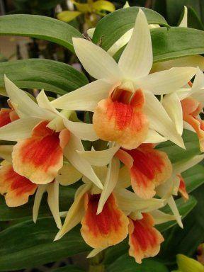 La Orquídea: soberana de las flores.