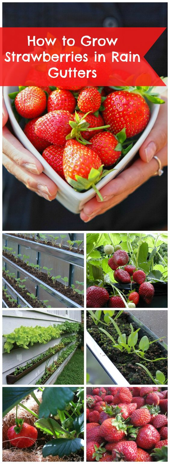 Strawberries Planted In Rain Gutters Strawberry Planting