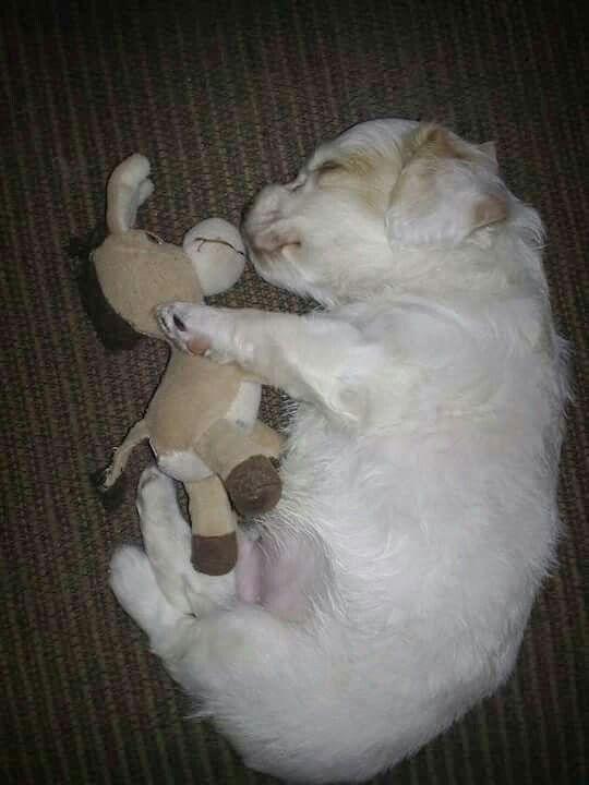 Perrito blanco con su juguete, tierno awww