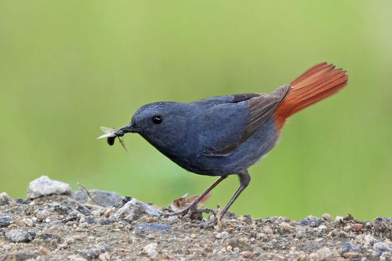 Plumbeous Water-redstart (Rhyacornis fuliginosa) Adult male eating a winged ant…