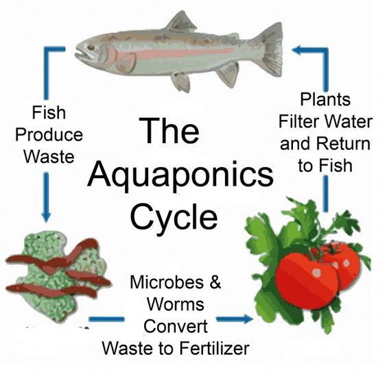 What is aquaponics garden aquaponic gardening for Aquaponics fish food