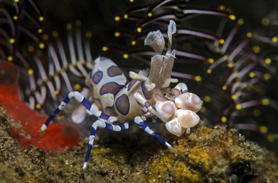 harlequin shrimp by Thomas Bannenberg on 500px