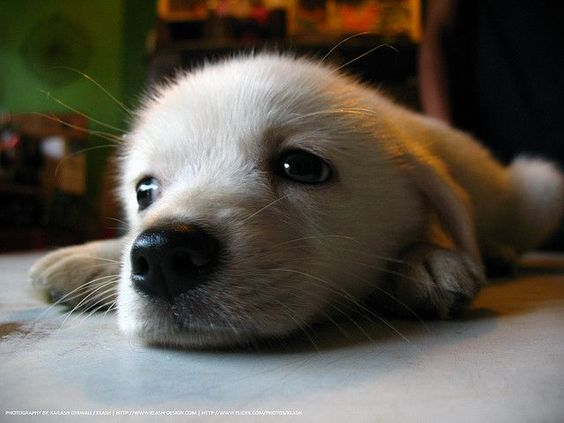.: Doggie, Cute Puppies, Golden Retrievers, Adorable Animals, Cute Animals, Baby Animal, Cute Dogs, Furry Friends, Puppy Eyes