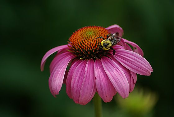 """EVIDENCE:  """"It Worked for My Aunt Tillie"""" Is Not Enough.   Bee pollinating a flower at the National Zoo"""