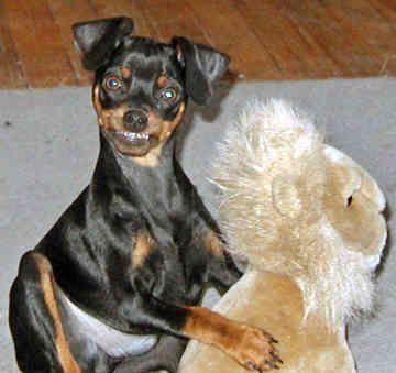 miniature pinscher | miniature pinscher puppies miniature pinscher puppies miniature ...