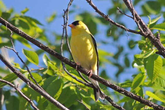 American Goldfinch ©Steve Frye. Wild Bird Company - Boulder, CO, Saturday Morning Bird Walk in Boulder County - May 21, 2016.