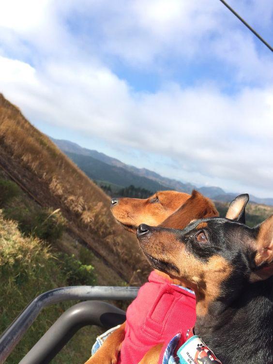 ケリーちゃん(黒)、キャンディーちゃん(茶)/大室山にて/伊豆わんパラに泊まり、大室山にリフトで登った時のリフトの写真です!リフトに初めて乗った2匹ですが、終始おとなしく安心しました。