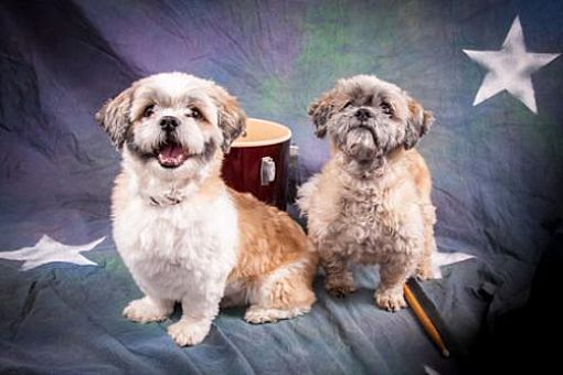 Elizabethtown Pa Bonded Pair Shih Tzu Meet Buttons And