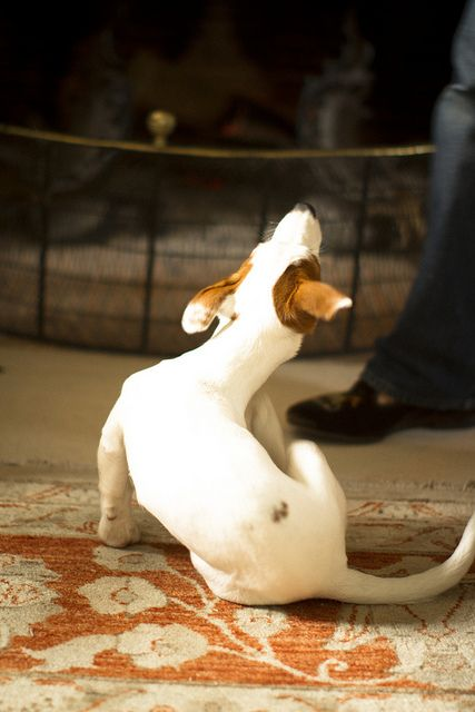 Cléo, the jack russel puppy 8 by Making Magique, via Flickr: