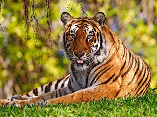 Safari de los Tigres