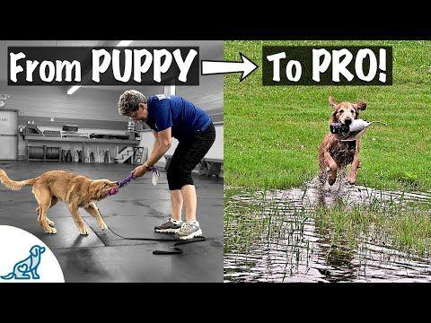 How To Train A Golden Retriever To Fetch Professional Dog