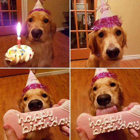 Celebrating Amelie S First Birthday Goldens Part 2
