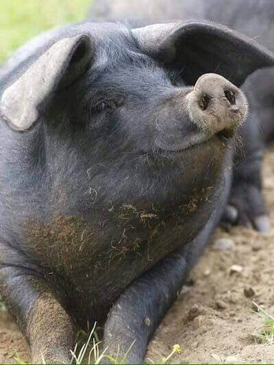 pig = het varken; pigs = de varkens